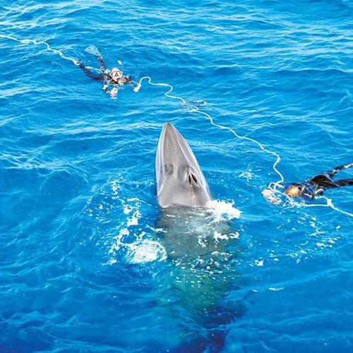 Minke whale Ribbon Reef Cairns